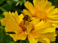 Hoverfly on Coreopsis